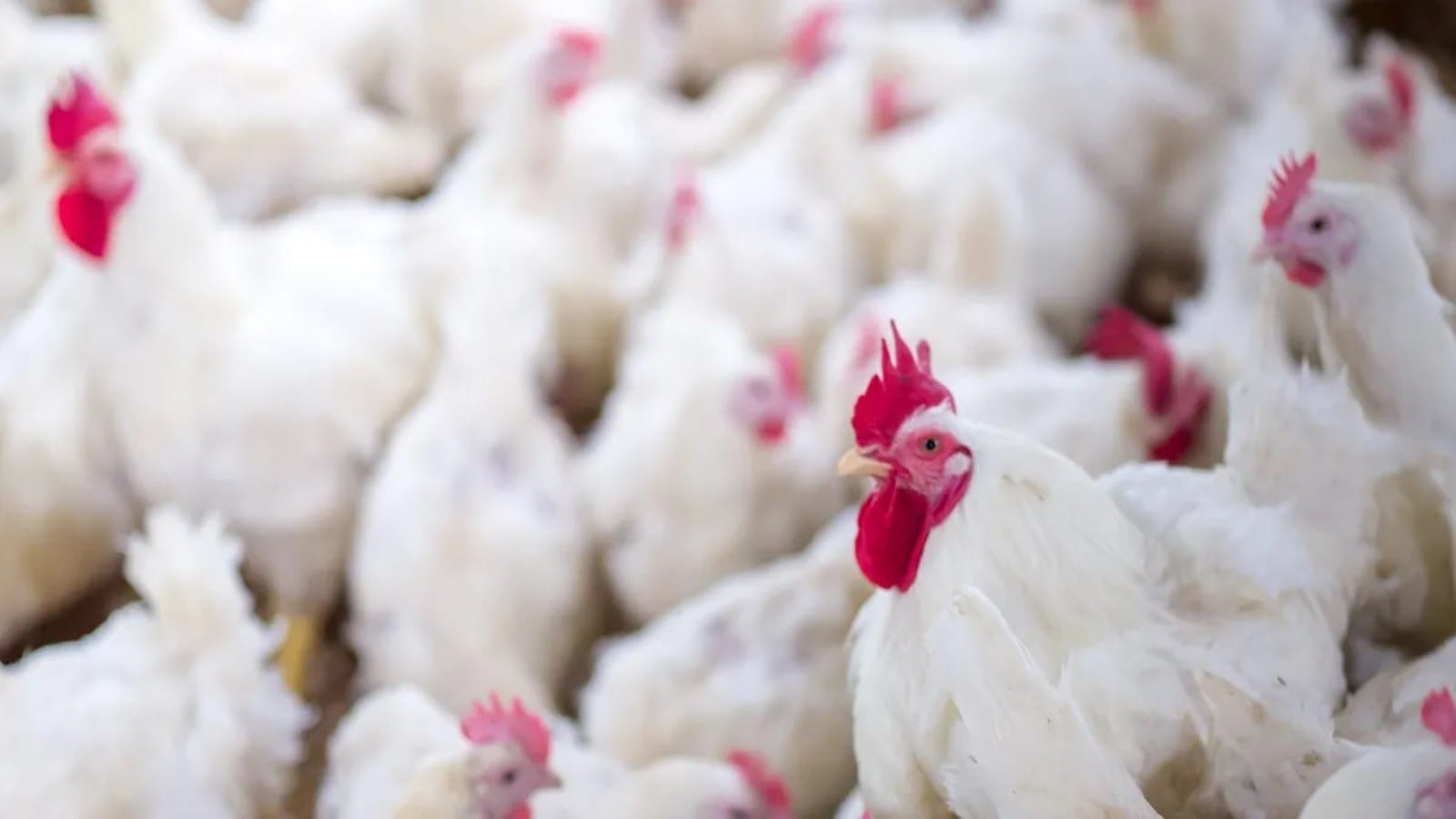 Avian flu spreads across Nigeria causing US$1.3m worth of poultry loss in Kano State